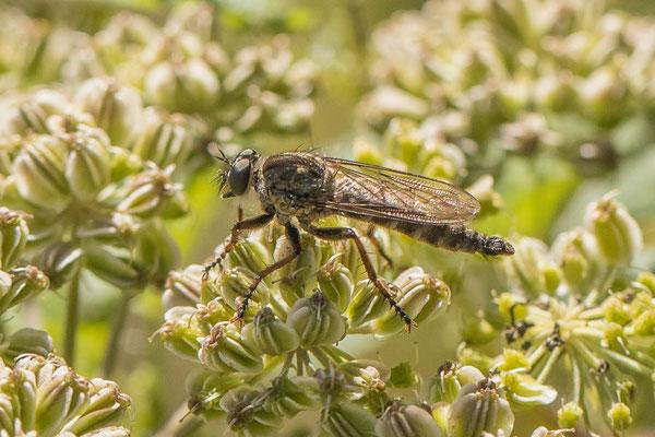 Zandroofvlieg - Philonicus albiceps