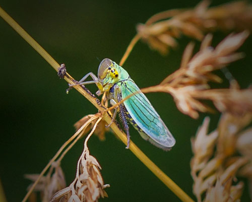 Groene rietcicade Cicadella viridis