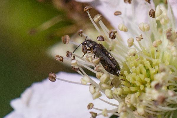 Kevers en Torren onbekend  Coleoptera indet.