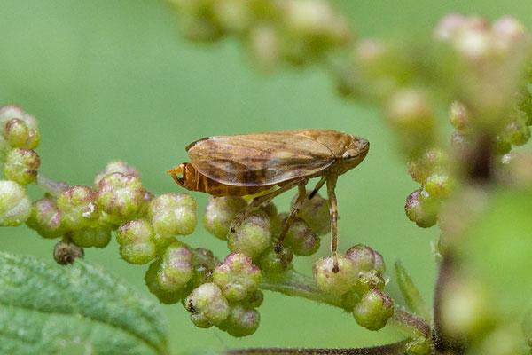 Schuimbeestje  Philaenus spumarius