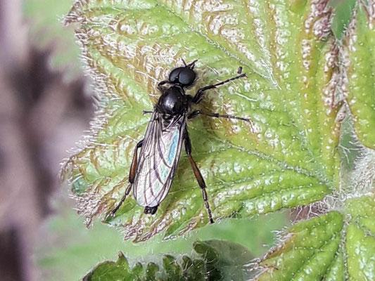 kleine rouwvlieg