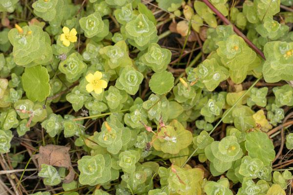 Moerashertshooi goedgekeurd  Hypericum elodes
