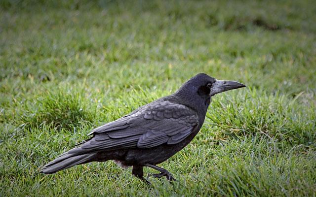 roek   Corvus frugilegus