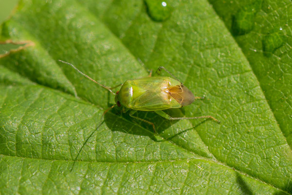 Lichtgroene schaduwwants  Apolygus spinolae