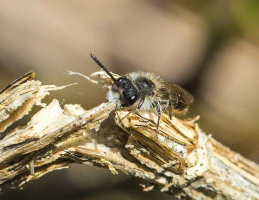 Roodbuikje   Andrena ventralis