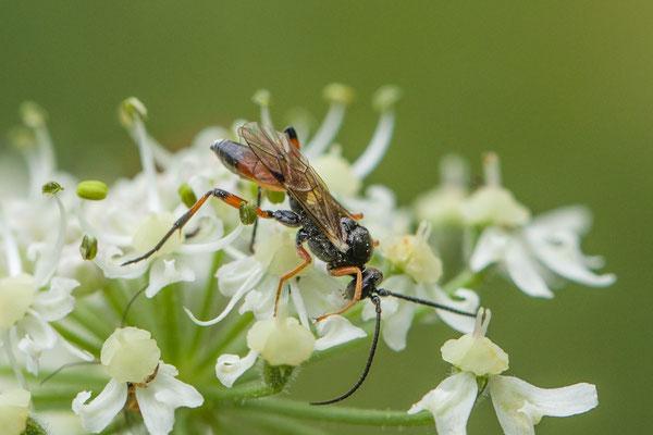 Sluipwesp onbekend  Ichneumonidae indet.