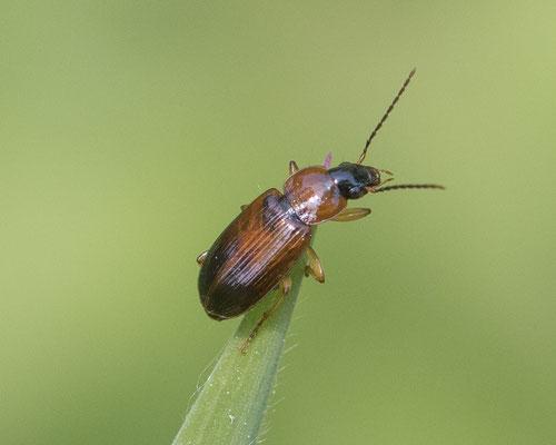Tweekleurige glansloper   Stenolophus teutonus