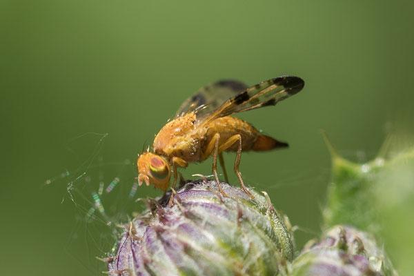 Akkerdistelboorvlieg    Xyphosia miliaria