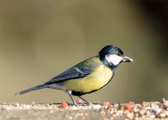 koolmees   Parus major