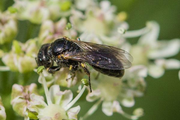 Lindenius albilabris
