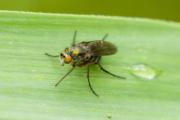 Slankpootvlieg  Dolichopodidae indet