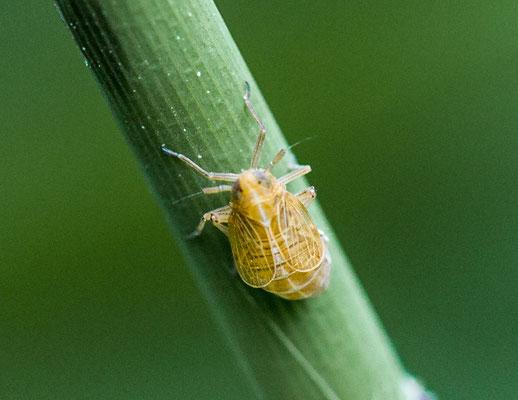 Spoorcicade onbekend Delphacidae indet.