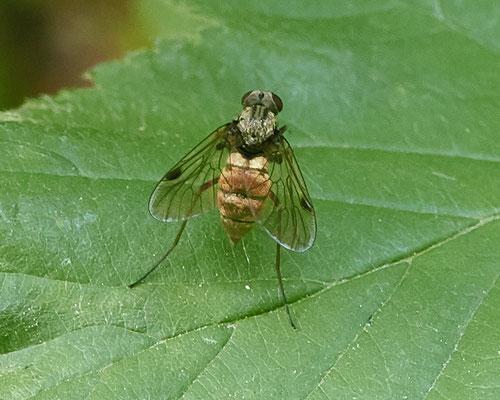 Gewone schubsnipvlieg Chrysopilus cristatus