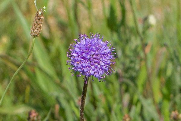 Blauwe knoop  Succisa pratensis