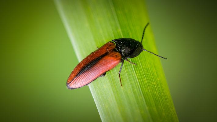 Ampedus sanguinolentus