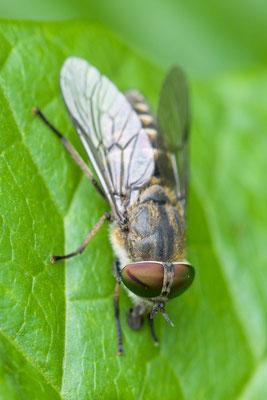 Bosknobbeldaas Hybomitra bimaculata
