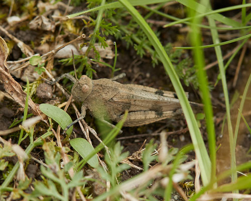 Blauwvleugelsprinkhaan  Oedipoda caerulescens