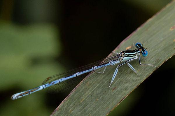 Blauwe breedscheenjuffer Platycnemis pennipes