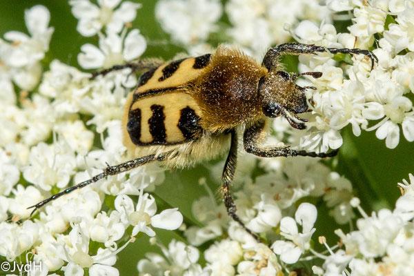 Penseelkever (zonatus) Trichius zonatus