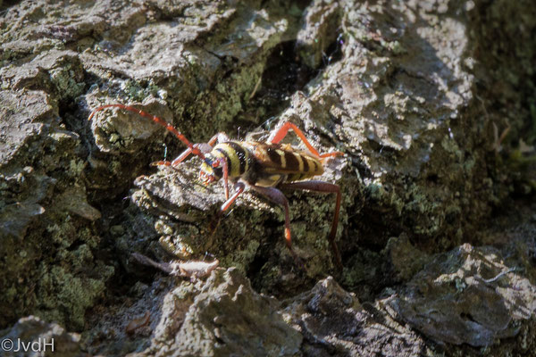Gele wespenboktor Plagionotus detritus