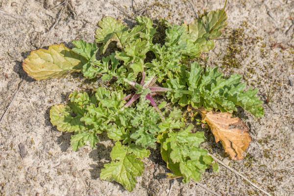 Jakobskruiskruid   Jacobaea vulgaris