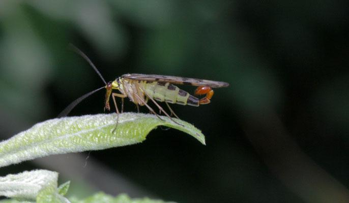 Schorpioenvlieg onbekend Panorpa spec.