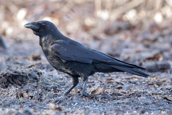 zwarte kraai  Corvus corone