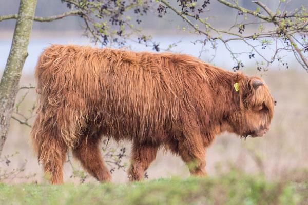 Schotse Hooglander Bos taurus var. highland