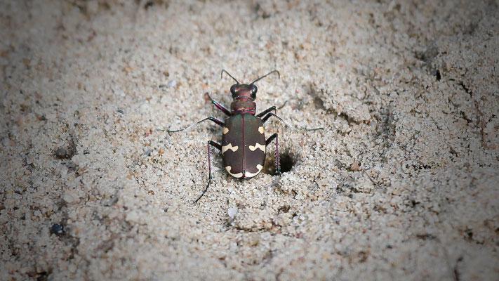 bronskleurige zandloopkever