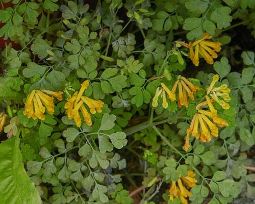 Gele helmbloem   Pseudofumaria lutea