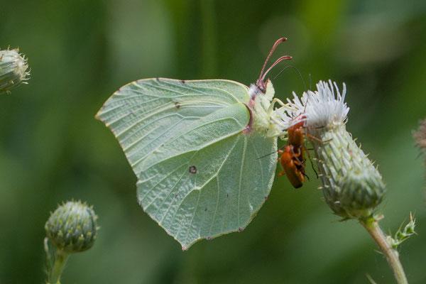 Citroenvlinder Gonepteryx rhamni