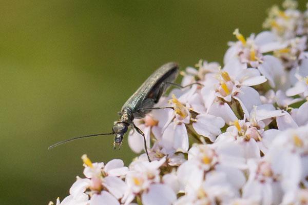 Oedemera lurida/virescens