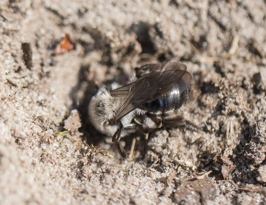 Grijze zandbij   Andrena vaga