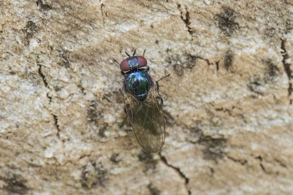 Lansvlieg onbekend  Lonchaeidae indet.