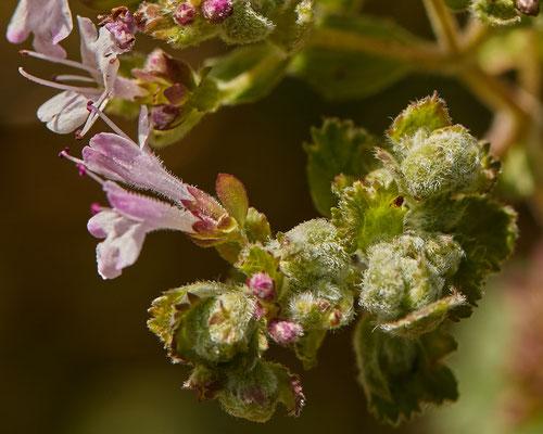Marjoleinmijt  Aceria labiatiflorae