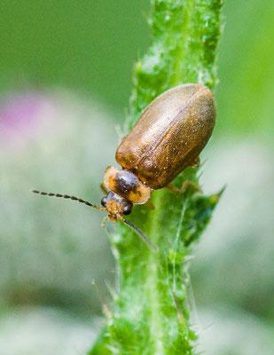 Bruine haarkever Microcara testacea