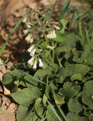 Hidcote-smeerwortel    Symphytum x hidcotense (S. grandiflorum x uplandicum)