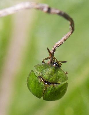Groene distelschildpadtor   Cassida rubiginosa