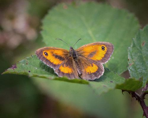 Oranje zandoogje Pyronia tithonus
