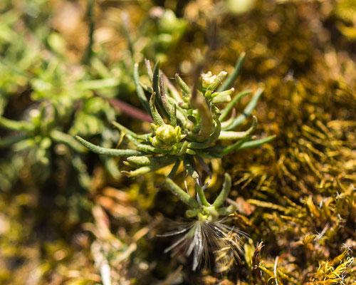 Heidespurrie    Spergula morisonii