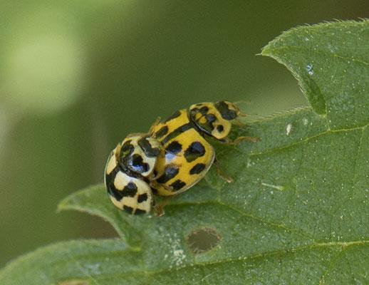 Schaakbordlieveheersbeestje   Propylea quatuordecimpunctata
