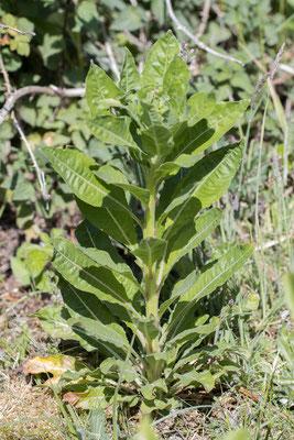 Middelste teunisbloem   Oenothera biennis