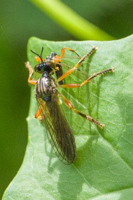 Glimmende bladjager  Dioctria cothurnata