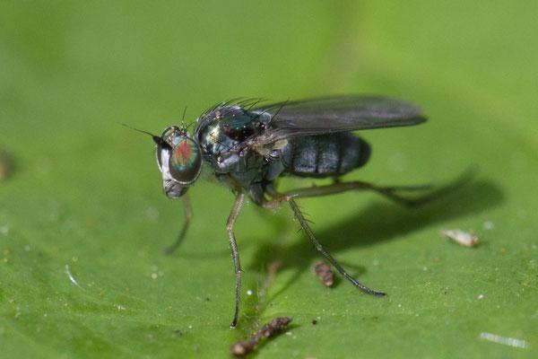 Slankpootvlieg   Dolichopodidae indet.