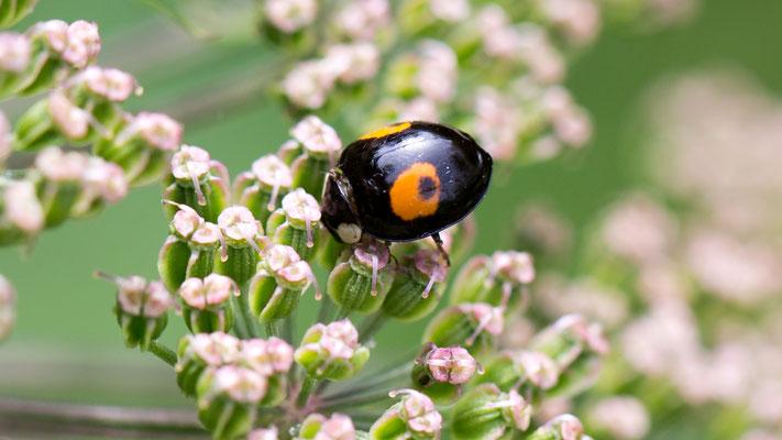 Tweevlekkig Aziatisch lieveheersbeestje Harmonia axyridis f. conspicua
