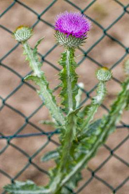 Tuinwegdistel  Onopordum x beckianum (O. acanthium x illyricum)