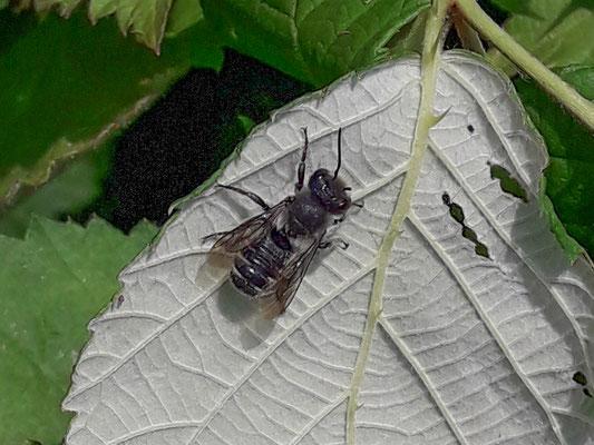Behangersbij onbekend  Megachile spec.
