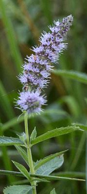 Hertsmunt Mentha longifolia