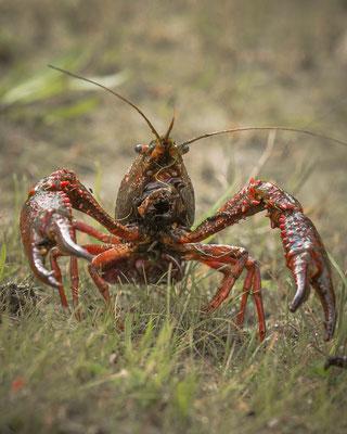 Rode Amerikaanse Rivierkreeft Procambarus clarkii