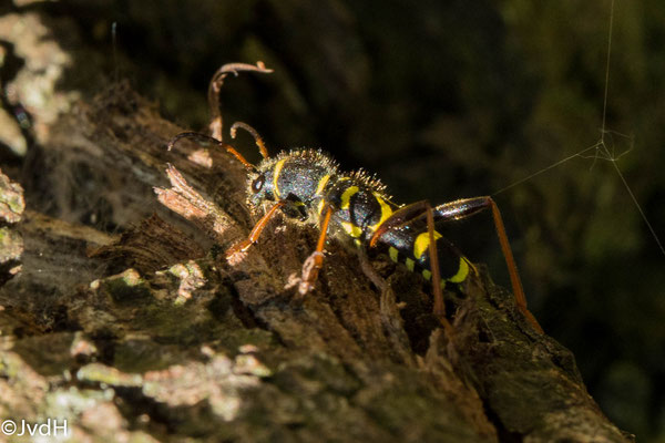 Grote wespenboktor Plagionotus arcuatus